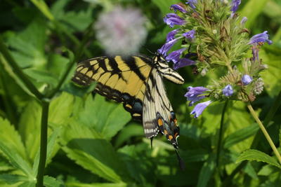 Eastern Tiger Swallowtail<br /> Papilio glaucus